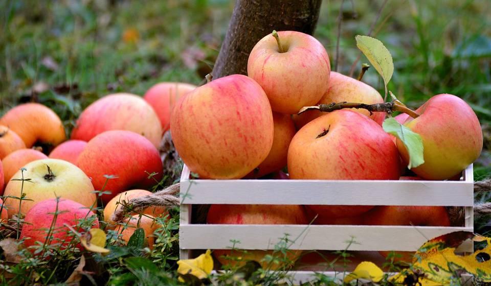 Яблоко и слива на одном дереве червивые