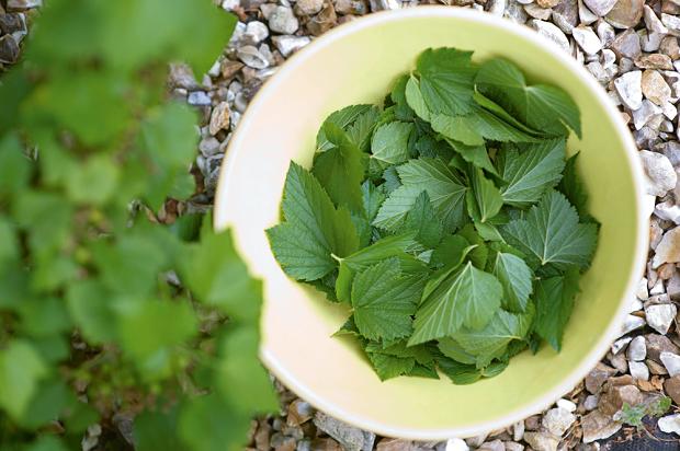 Способы заготовки листьев смородины для ароматного чая
