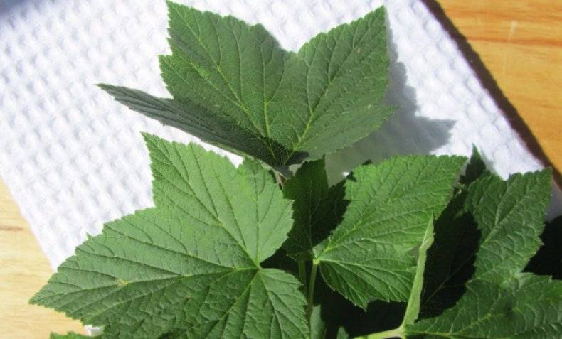 Польза и вред чая из листьев смородины. как заваривать чай