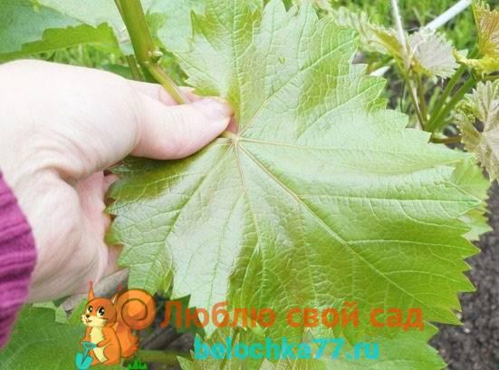 Как правильно заморозить виноградные листья для долмы на зиму – пошаговая инструкция с фото и советами