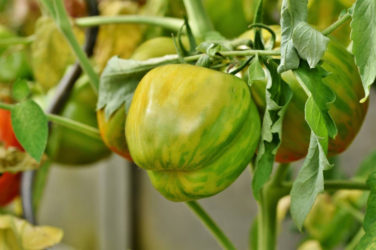 Лечо из зелёных помидоров на зиму
