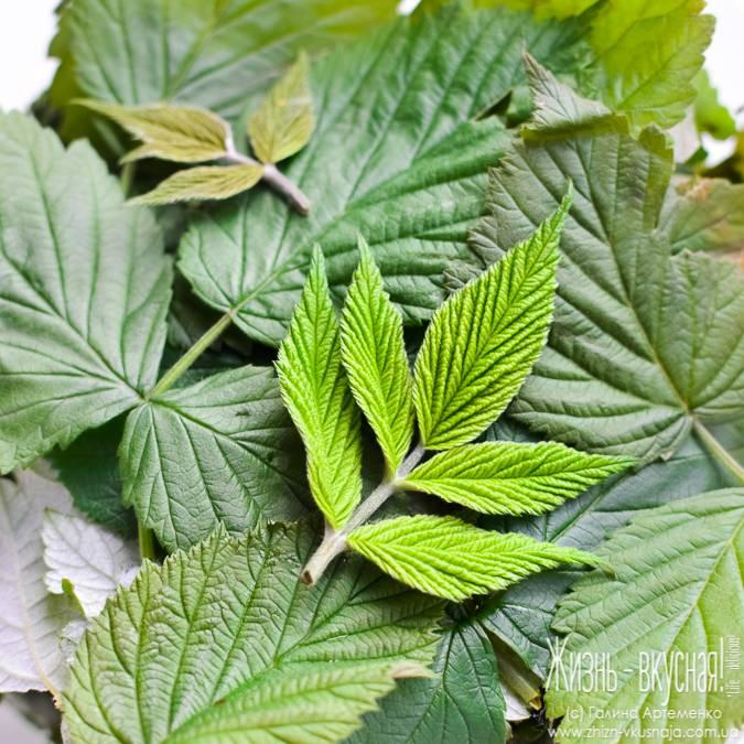 Листья земляники – лечебные свойства и противопоказания ароматного лекарства