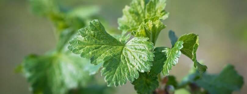 Как правильно ферментировать листья для чая — подробная технология с фото