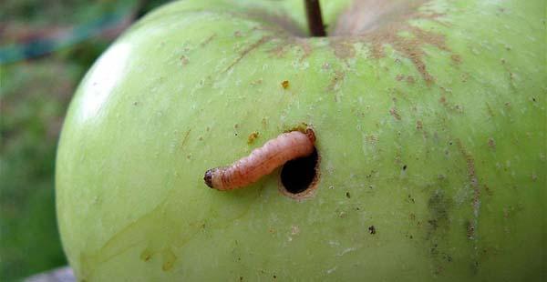 «Червивые» яблочки