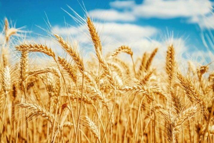 Хлеб из пророщенного зерна — живая пища для организма