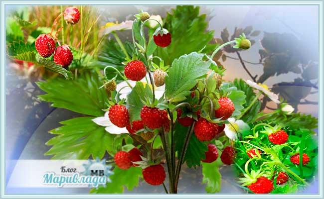 Земляника лесная: полезные свойства ягод и листьев земляники лесной