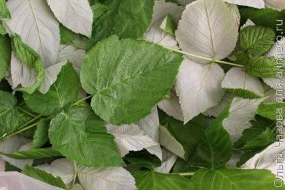 ️ферментация листьев малины в домашних условиях: как сделать чай, рецепт