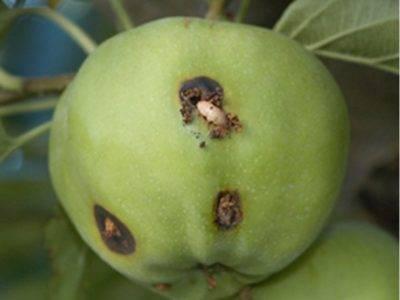 Сонник яблоко и слива на одном дереве червивые. к чему снится яблоко и слива на одном дереве червивые видеть во сне - сонник дома солнца