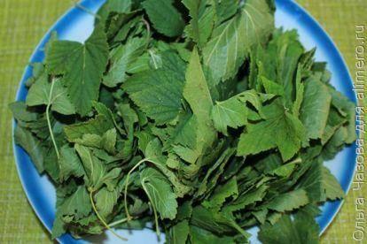 Ферментация листьев смородины для ароматного чая