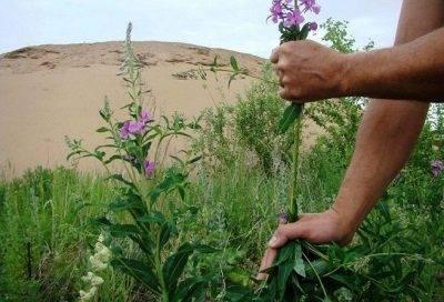 Иван-чай: польза и вред для здоровья, применение, рецепты