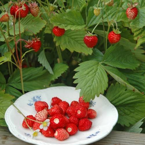 Польза и вред чая из листьев земляники для организма. сбор листьев