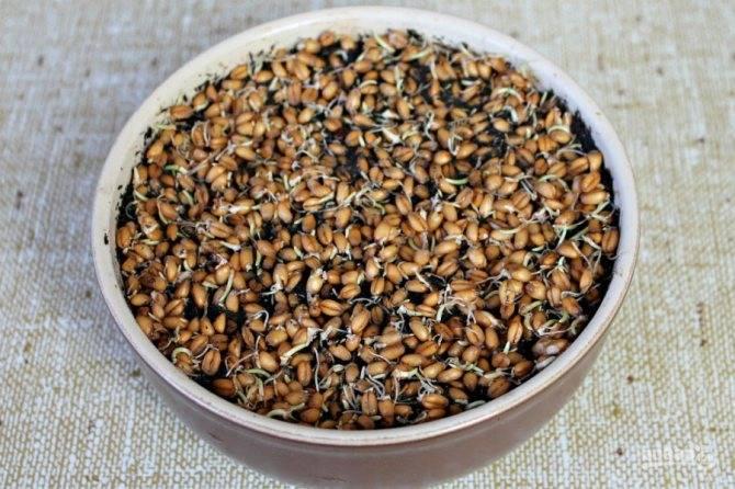 О пользе пророщенной пшеницы