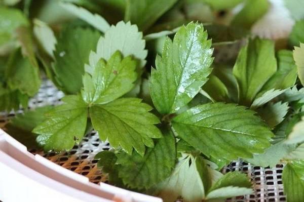 Чай ферментированный из листьев груши польза и вред